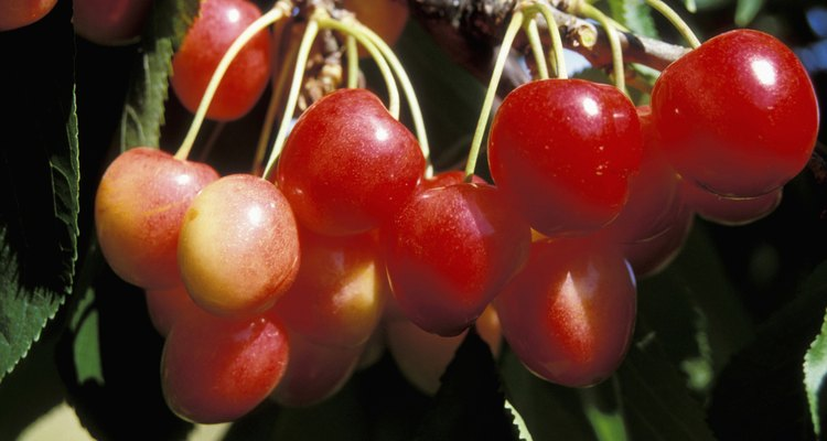 Close-up of Royal Anne cherries hanging on a branch