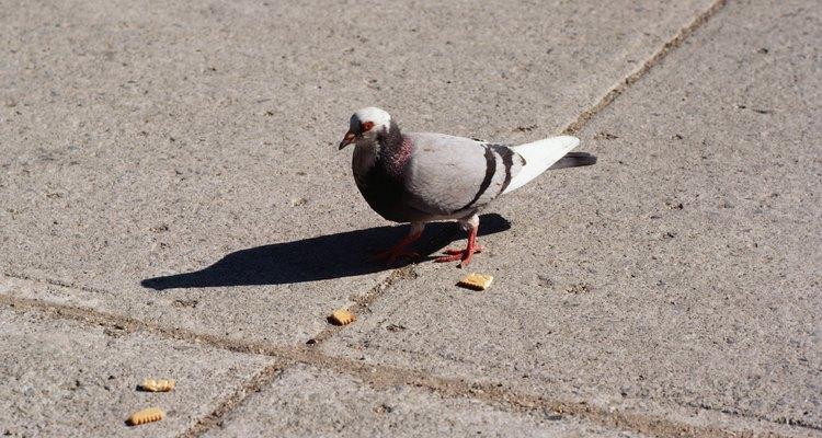 Aprenda a fazer ração para seu pombo