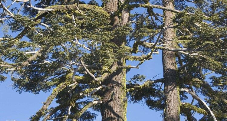 Soaring, clay-tolerant ponderosa pines.