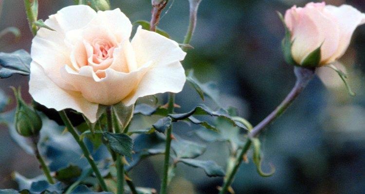 As rosas são presas fáceis para doenças de fungos