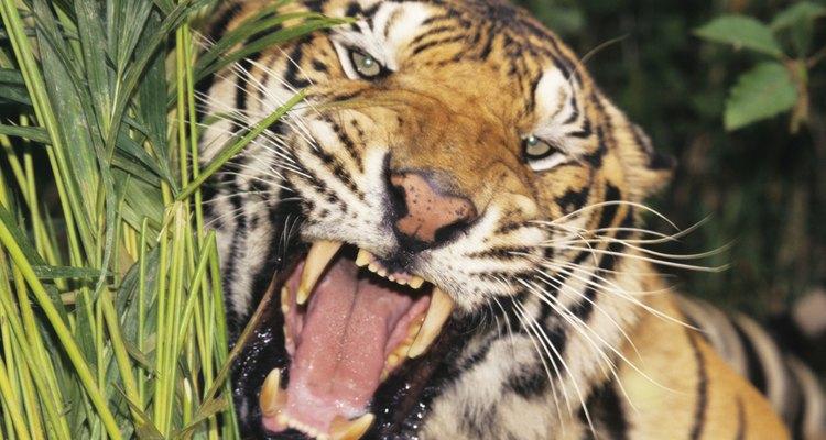 Tigres de Bengala têm os mais longos caninos de qualquer carnívoro vivo