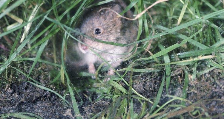 Los ratones de campo pueden dañar árboles, arbustos y césped a través de la alimentación o la construcción de pasarelas.