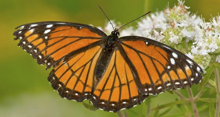 Uma borboleta vice-rei com suas asas estendidas, sorvendo o néctar de uma flor