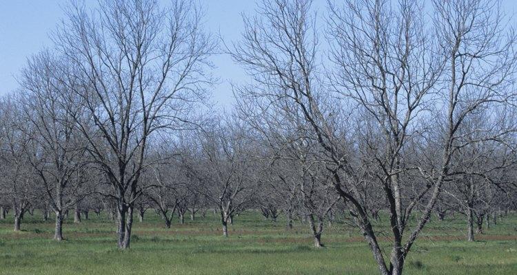 El injerto es la forma más barata para plantar un nogal.
