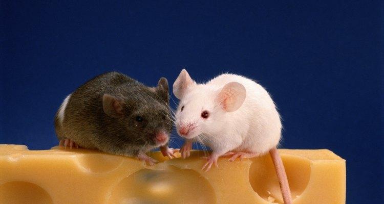 Aprenda a identificar sinais de doença no seu rato de estimação