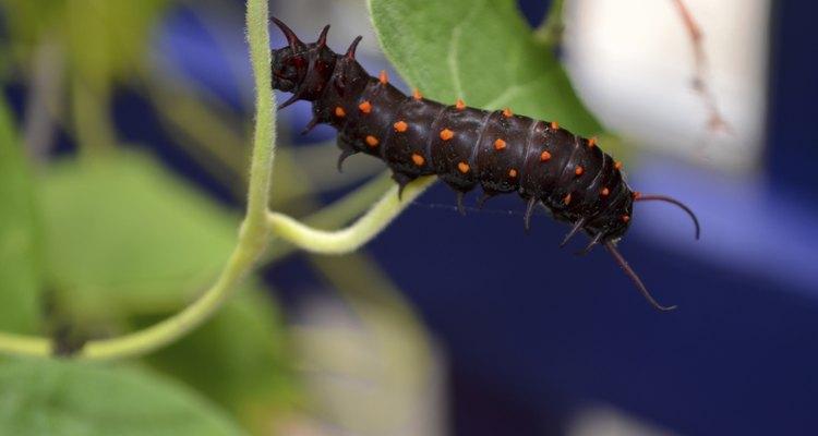 Pipevine Swallowtail Caterpillar on Vine