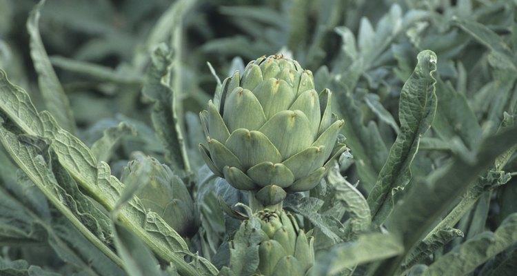 Artichoke plant, close-up