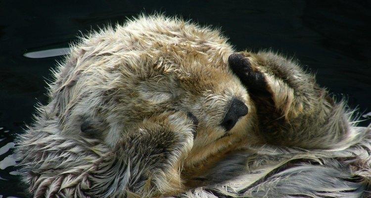 Las nutrias y las focas tienen pelaje, pero no tienen una capa de grasa gruesa.