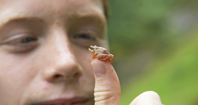 La rana panameña dorada o Atelopus xeteki, está en peligro de extinción.
