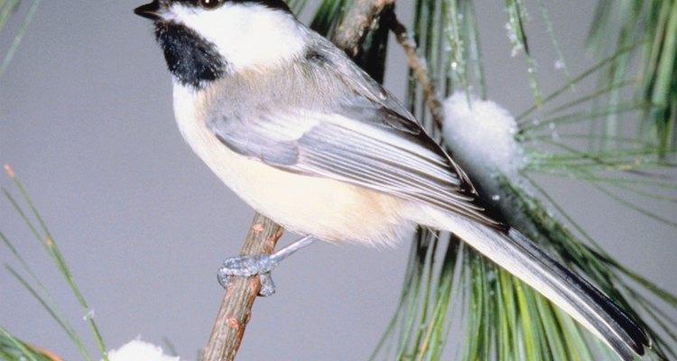 Remova pássaros indesejados do seu quintal caçando-os com armadilhas caseiras