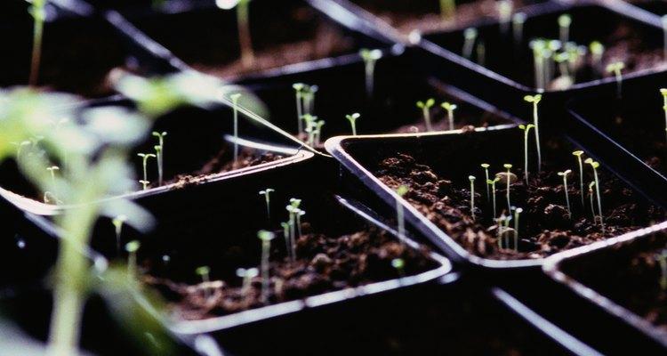 Los tomates germinan sin luz si se las da las condiciones adecuadas.