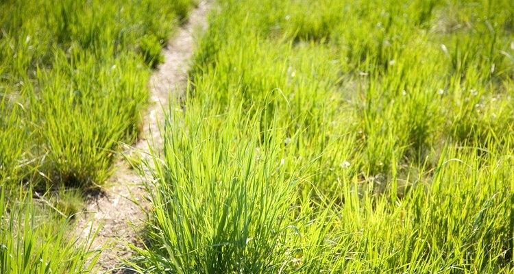 Algunos tipos de hierbas son consideradas que son malezas.