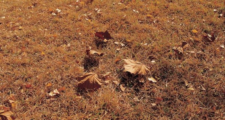 Deixar que o gramado hiberne é um remédio para as lagartas