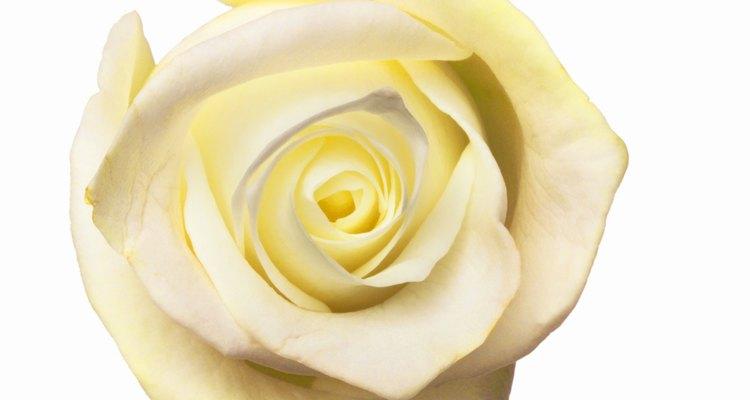 Usa las rosas blancas como un lienzo que absorba la solución de tintura negra.