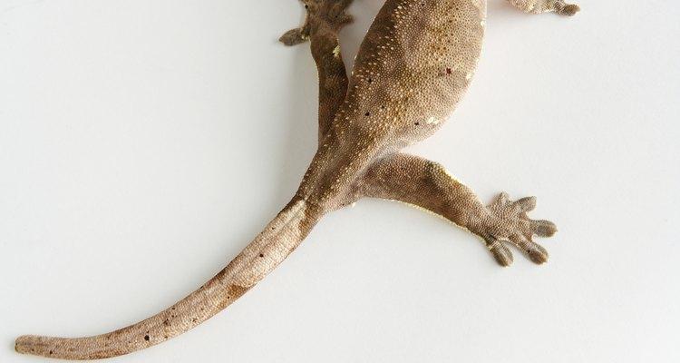 Los lagartos son beneficiosos para el jardín y generalmente son inofensivos para las personas.