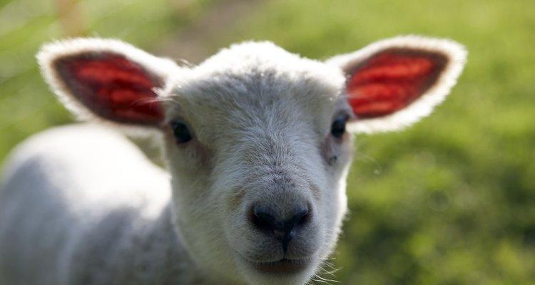 Métodos para lavagem da pele de carneiro
