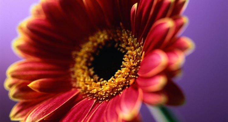 A gerbera é um tipo popular de flor ornamental
