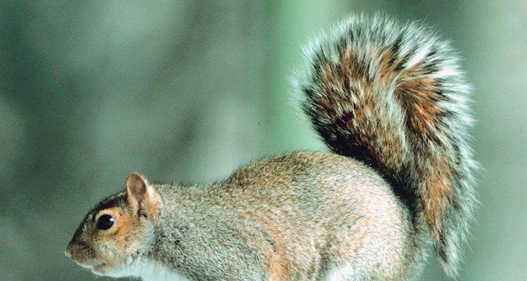 Las ardillas de árboles y las voladoras tienden a ser solitarias, excepto durante la temporada de apareamiento.
