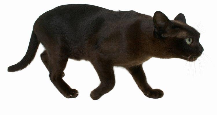 Não se sabe por que alguns gatos fazem barulhos com os dentes quando caçam