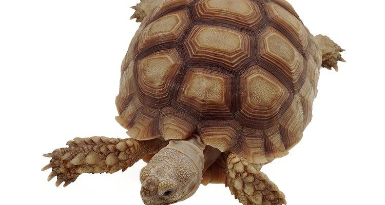 A diferencia de las tortugas de agua, las tortugas de tierra viven casi exclusivamente en tierra firme.