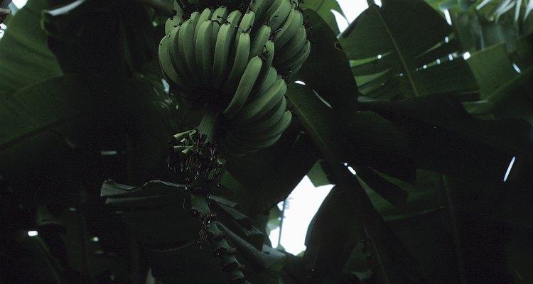 Las raíces alcanzan hasta 5 pies (1,52 m) en el suelo y se extienden hacia afuera hasta 16 pies (4,88 m).