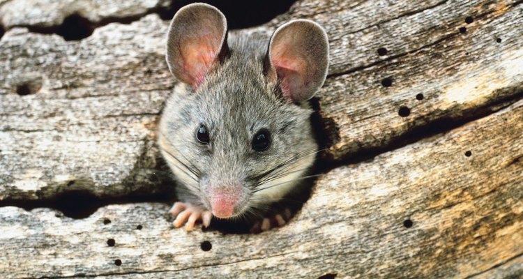 Las ratas son portadoras de muchas enfermedades peligrosas, por lo que necesitarás tratar seriamente la infestación.