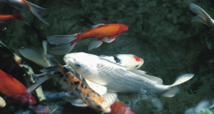 Koi are a member of the carp family and are kept as ornamental fish in ponds and large aquariums.