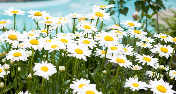 Daisy-like flowering plants can be grown for variety