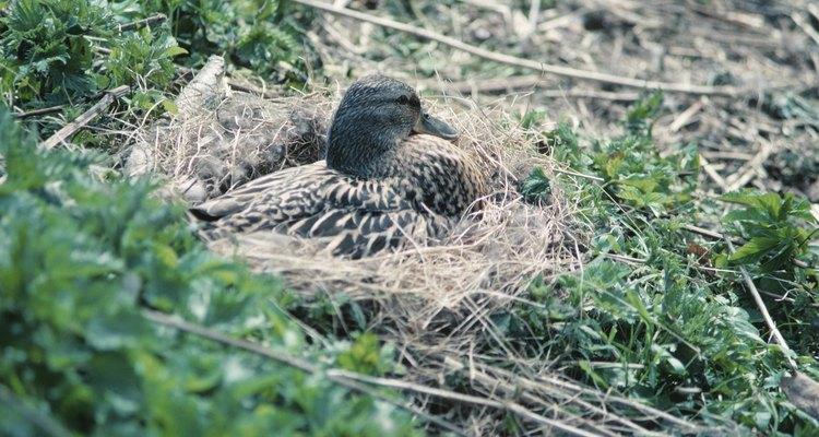 La gallina hembra utiliza pastos, maleza y plumones para construir su nido.