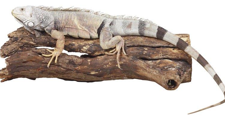 La mayoría de los lagartos tienen cuatro patas con garras en cada dedo, pero algunos lagartos tienen dos patas o no tienen patas.
