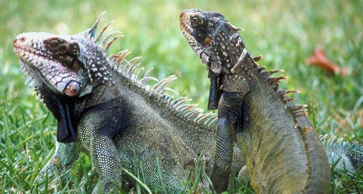Las iguanas encontradas en América del norte y sur, tienen cuerpos pesados y colas largas.