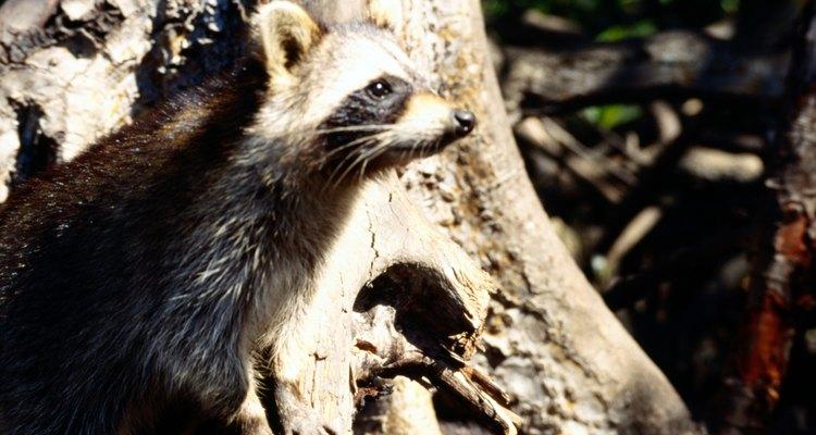 El perro cazador de mapaches negro y bronce es conocido por ser experto rastreador de mapaches.