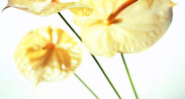 Os antúrios são brácteas, e não flores