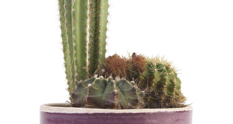 Hay más de 200 géneros de cactus, con unas 2.500 especies, en su mayor parte adaptadas a climas áridos.