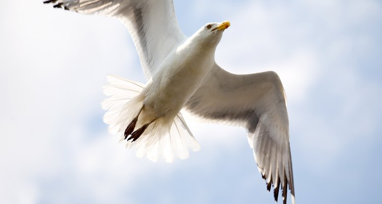 Most seagulls are omnivorous.