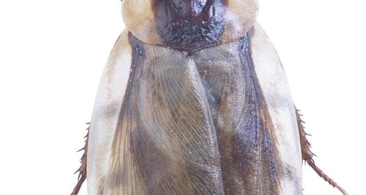 La actividad de la cucaracha se puede ver en la luz del día cuando tu casa se convierte en su caldo de cultivo.