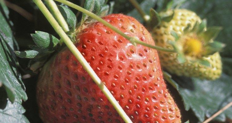 La corona de una planta de fresa es donde la raíz se encuentra con los tallos.