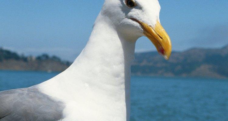 A gaivota é uma das aves marinhas mais conhecidas