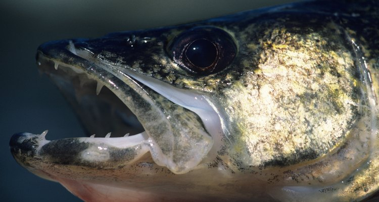 The cheeks of the walleye are refered to by some anglers as