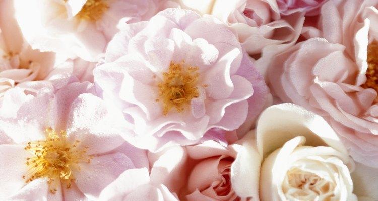 Rosa Korbin, también conocida como témpano, es resistente en las zonas 5 hasta la 9 del USDA.