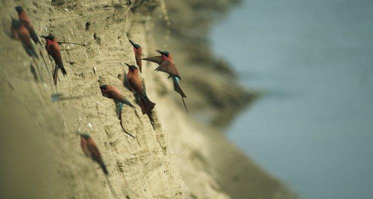 Essas aves constroem seus ninhos nas faces dos paredões