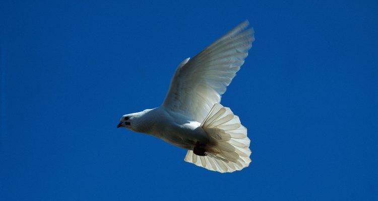 A armadilha de pombos pode ser facilmente criada a partir de paus e cordas