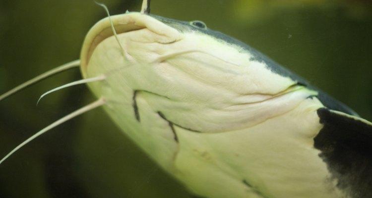 Aquarium catfish enjoy fresh cucumber.