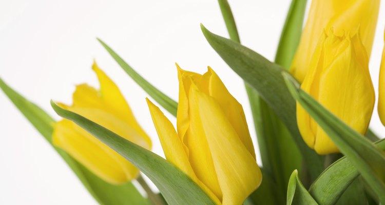 El tulipán es un ejemplo de una planta de bulbo.