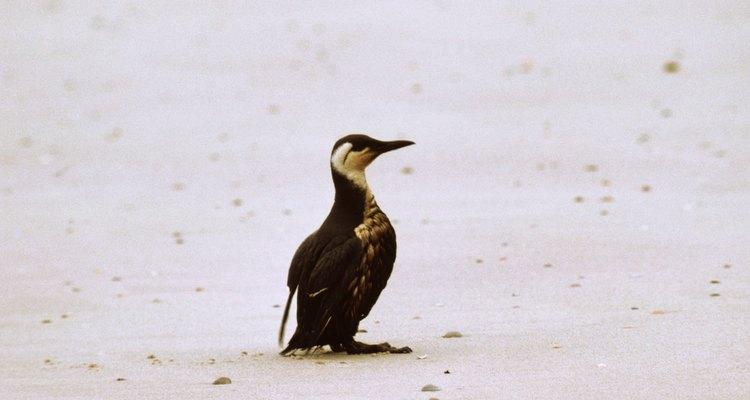 El efecto de un derrame de petróleo en la fauna puede ser devastador.