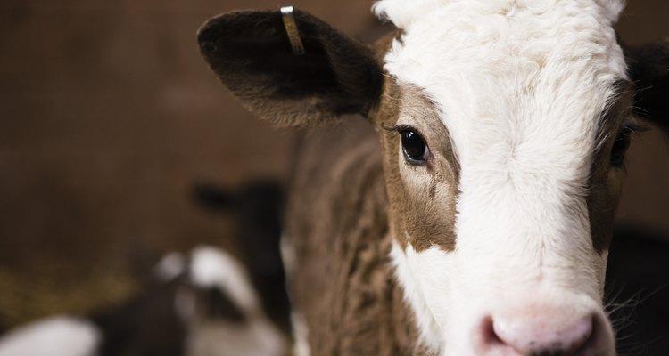O esterco de vaca é um ótimo fertilizante