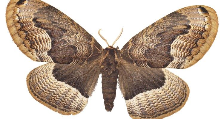 A maioria das espécies de mariposas acasalam e produzem ovos fertilizados