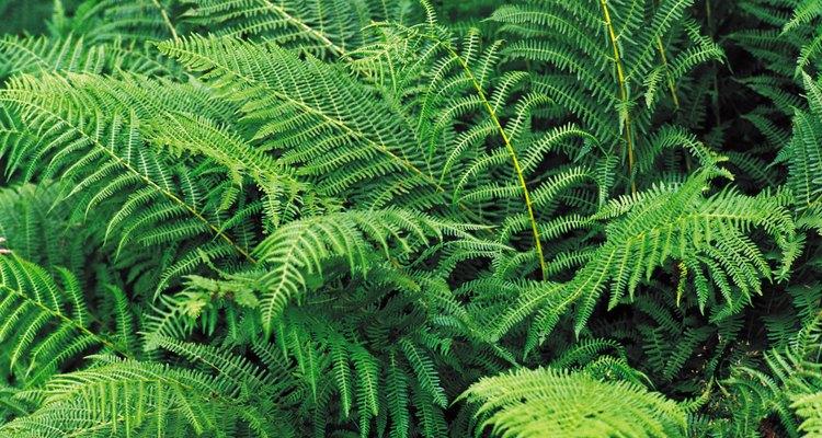 Plantar samambaias juntas adiciona textura e riqueza a uma área do jardim