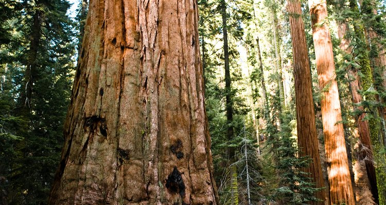 Giant sequoia is one of the tallest and longest-living trees.
