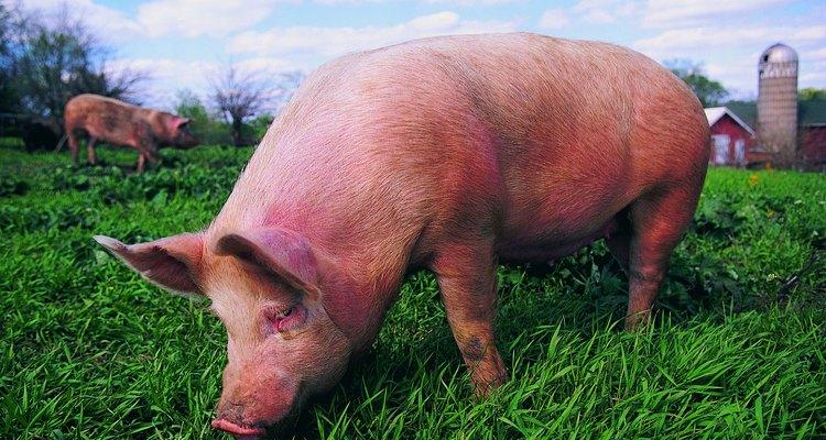 Porcos de pelo branco geralmente são descritos como rosa devido a cor de sua pele